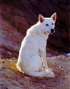Canaan Dog: The Animal Files