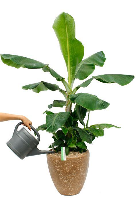 mini bananen pflanze bananepflanze musa pflege 123zimmerpflanzen