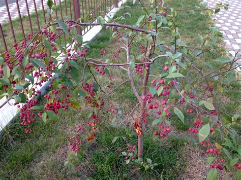 berries tree what is the name of this tree are the berries edible snaplant com