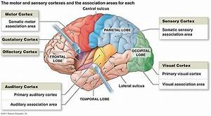 Functional Areas Diagram I  Motor Areas  Posterior Part Of The Frontal Lobes  Primary Motor