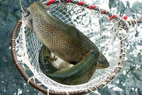 story   arrival  trout fish  pakistan