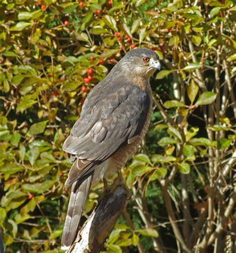 cooper s hawks raptor rehabilitation of kentucky inc