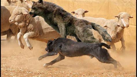 top  herding dog breeds youtube