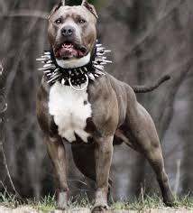 resultado de imagen  perros pitbull blue stanford