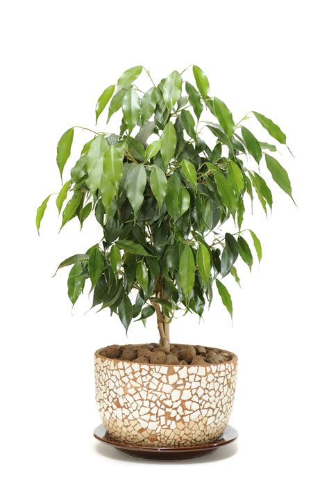 indoor tree plants ficus houseplants how to care for a ficus tree