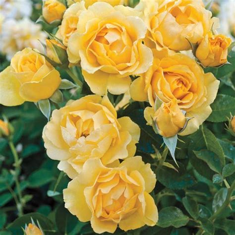 easy care roses julia child easy care rose on sale at spring hill nursery