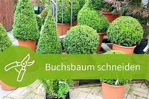 Eibe Schneiden Beste Zeit : buchsbaum schneiden eine anleitung mit 4 schnitten ~ Frokenaadalensverden.com Haus und Dekorationen