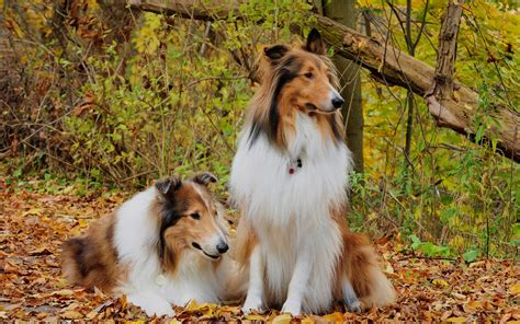 wonderful hd collie dog wallpapers