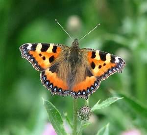 Small Tortoiseshell Butterfly  Aglais     U00a9 Evelyn Simak