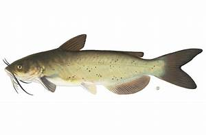 Channel Catfish - Fishes World - HD Images & Free Photos