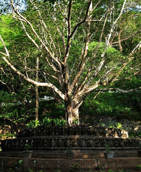 where can i buy a bodhi tree bodhi mindbodybrew