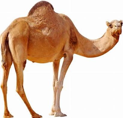 Camel Desert Bactrian Standing Transparent Wild Cartoon