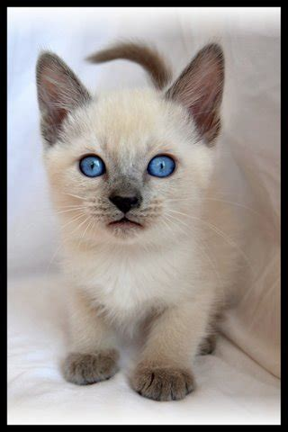 history breed information  siamese cats kittens