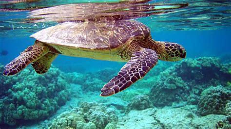 hd wallpapers sea under arabian seascape ocean turtle turtles backgrounds total tortue underwater water exclusive cool reflection mar internal tortuga