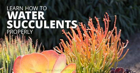 how to water succulents how to water succulent plants succulents and sunshine
