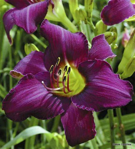 foto de Wayside King Royale purple daylily Oakes Daylilies