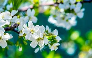 Apple Flowers  Hd Flowers  4k Wallpapers  Images
