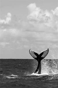 Black And White Humpback Whale