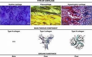 Fibrocartilage Cartilage Under Microscope