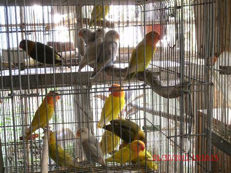 philippines birds  sale adoption buy sell  adpost