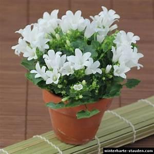 Winterharte Blumen Für Kübel : campanula portenschlagiana glockenblume ~ A.2002-acura-tl-radio.info Haus und Dekorationen