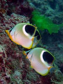 Saddle Butterflyfish