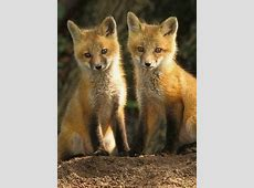 Red Fox the only wild dog we have in Ireland Independentie