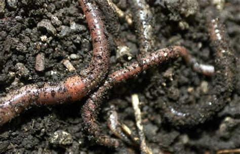 worms for garden invite worms for a garden toledo blade