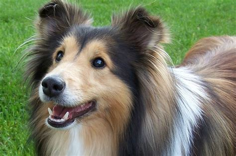 shetland sheepdog training breed information  health