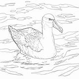 Albatross Coloring Water Bird Pages Coloringbay sketch template
