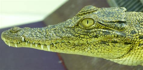 what color are crocodiles crocodile more sophisticated than previously thought