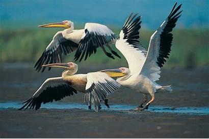 Bird Pelican Birds Wallpapers Walls
