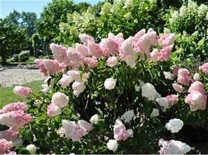 Hortensie Wims Red : pluimhortensia hydrangea paniculata ~ Michelbontemps.com Haus und Dekorationen