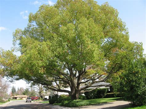 camphor tree   yard  trees  plant