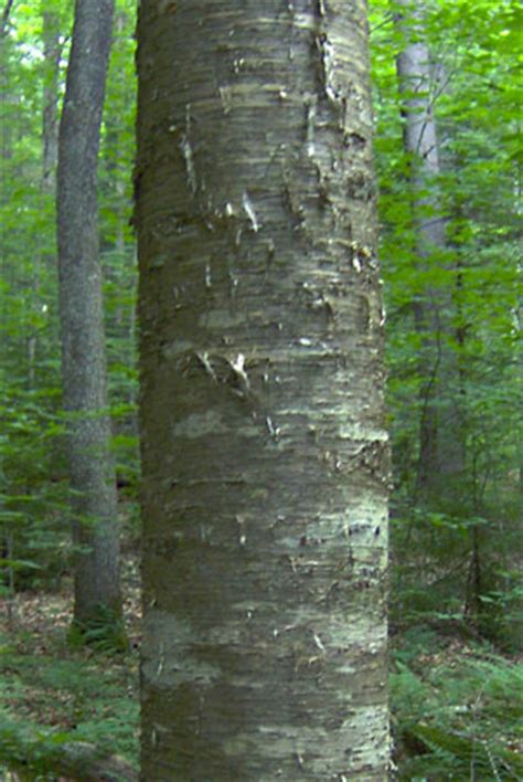 yellow birch tree britannicacom