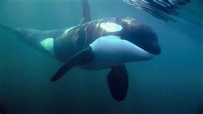 Orca Dolphins Whale Killer Animated Sea Gifs