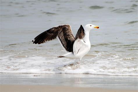 Great Blackbacked Gull  Audubon Field Guide