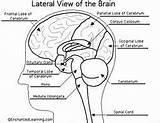 Brain Human Anatomy Pdf Biology Coloring Labeled Diagrams Bing sketch template