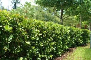 Viburnum Suspensum Hedge
