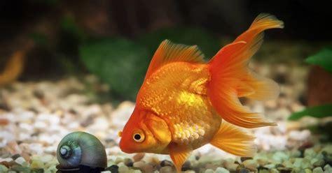 Septiņi fakti par zelta zivtiņām - DELFI