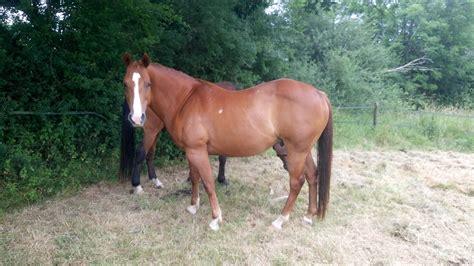 horses horse quarter client