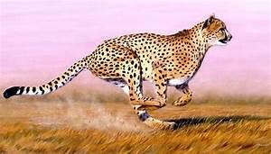 How Fast Does A Cheetah Run