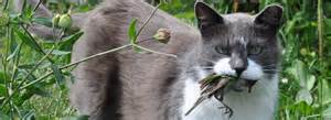 bird for cats cats invasives american bird conservancy