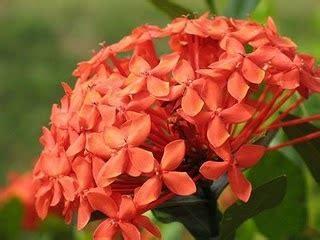 manfaat bunga asoka keajaiban tanaman tradisional