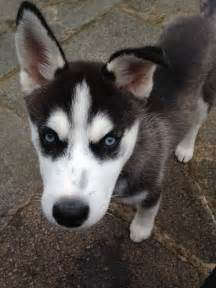 Siberian Husky Puppies Adoption
