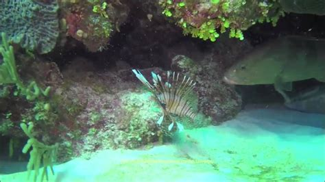 lionfish grouper invasive water dailypedia