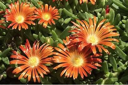 Plant Ice Orange Steppe Flower Granita Kitty