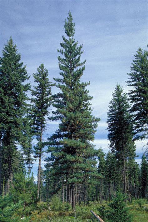 western white pine wikipedia