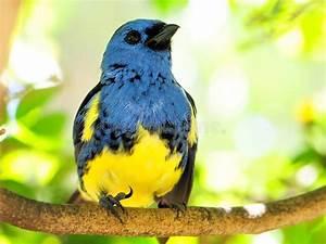 Oiseau Jaune Et Bleu : oiseau bleu et jaune de pinson recherchant photographie stock libre de droits image 25218307 ~ Melissatoandfro.com Idées de Décoration