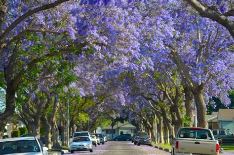 long beach love hate bloom  jacaranda trees purple canopy orange county register